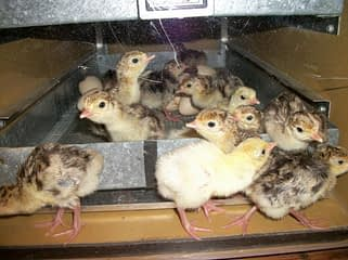 raising turkey poults